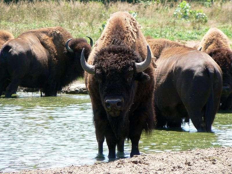 Bisons en groupe. © Wikipédia domaine public