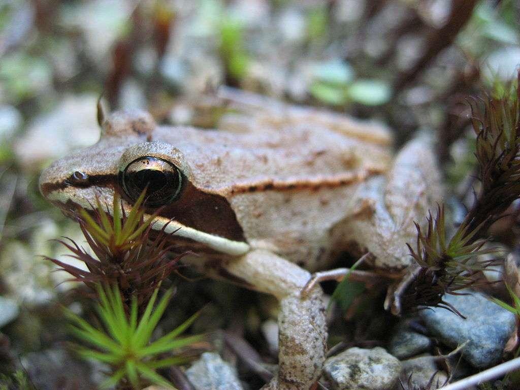 La grenouille des bois est la seule du genre à survivre en hiver... congelée ! À la saison froide, elle s'enterre et arrête son cœur. Le sang ne circule presque plus, mais ne gèle pas, grâce à la présence de trois cryoprotecteurs. © MichaelZahniser, Wikipédia, DP