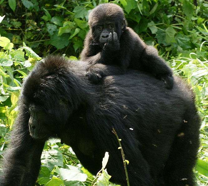 Femelle gorille et son petit en Ouganda. © Fiver Löcker, CC by SA 2.0