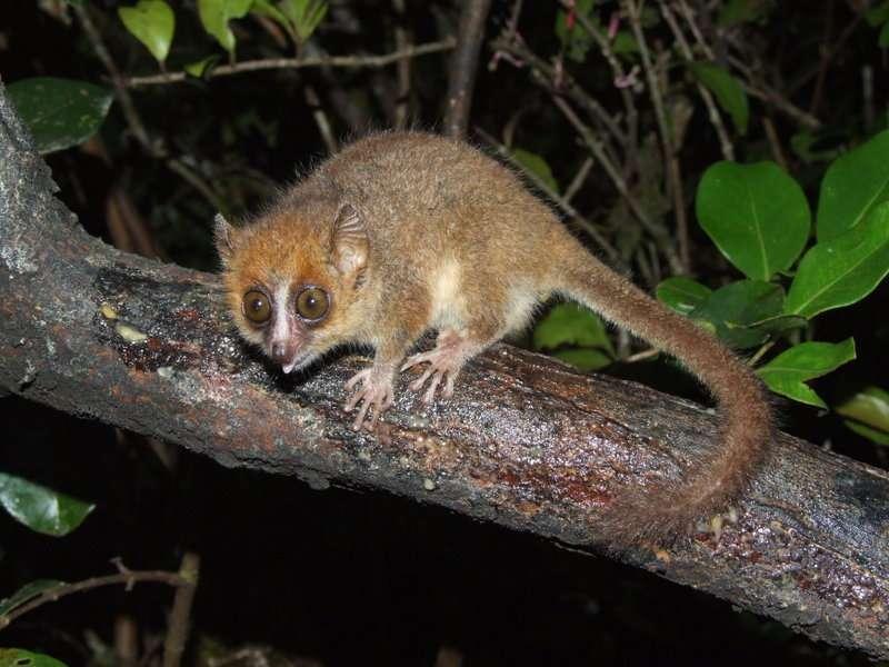 Le microcèbe pygmée, un mini lémurien