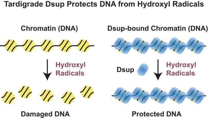 Les radicaux hydroxyles ont tendance à endommager l'ADN (à gauche) mais lorsqu'intervient la protéine Dsup, un nuage protecteur se forme et met l'ADN à l'abri (à droite). © James Kadonaga, Université de Californie à San Diego