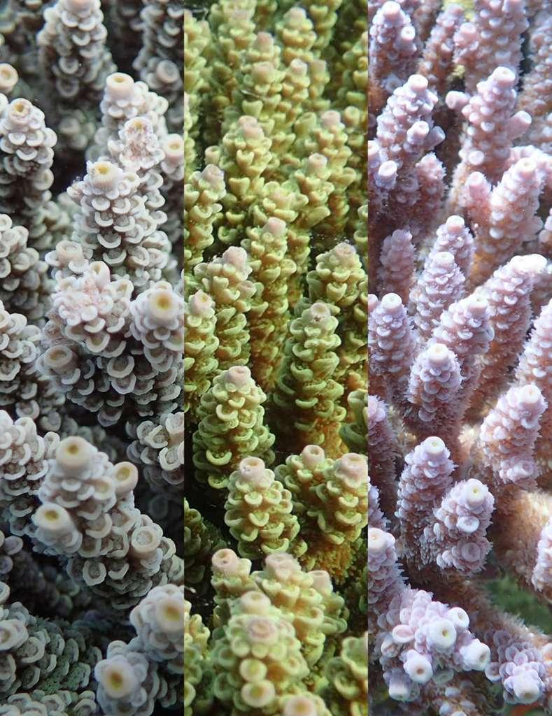 De gauche à droite : la forme brune, jaune-vert, et violette des coraux étudiés. © Daisuke Kezuka