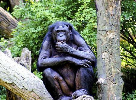 Le bonobo évite les conflits. © Kabir Bakie, Creative Commons, Attribution ShareAlike 2.5