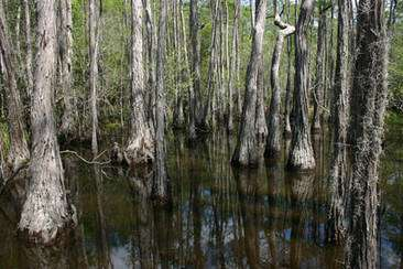 Le marécage de Floride où l'ambre a été trouvé. © Alexander R. Schmidt