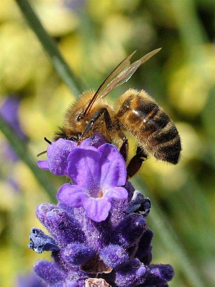 Cette abeille visite trois fois moins les fleurs de lavande qu'un bourdon. © Professeur Francis Ratnieks, Université de Sussex (Angleterre)