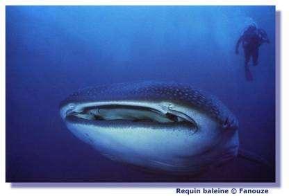 Apprenez à mieux connaître les requins. © Fanouze