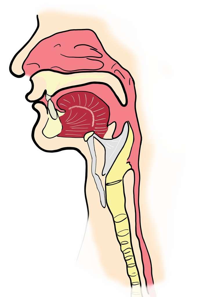 L'œsophage est un organe du système digestif qui se situe entre le pharynx et l'estomac et s'étend sur 25 centimètres. © OpenClipart-Vectors, Pixabay