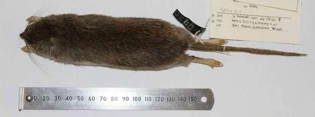 Le rat Halmaheramys bokimekot se caractérise également par la présence de trois paires de papilles mammaires sur son abdomen, tandis que le rat domestique (Rattus norvegicus) en possède six. © Pierre-Henri Fabre