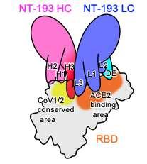 Le site de fixation de NT-193. La chaîne légère de l'anticorps, en violet, recouvre toute la région de liaison avec le récepteur ACE2. La chaîne lourde, en rose, s'accroche à une région plus éloignée et conservée entre le SARS-CoV-1 et les variants du SARS-CoV-2. © Taishi Onodera et al. Immunity
