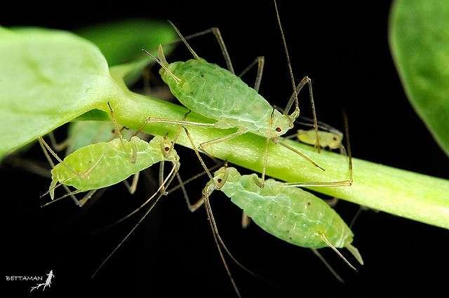 Le puceron vert du pois a pris des genes à un champignon par transfert horizontal. © Shipher Wu, flickr, cc by nc sa 2.0