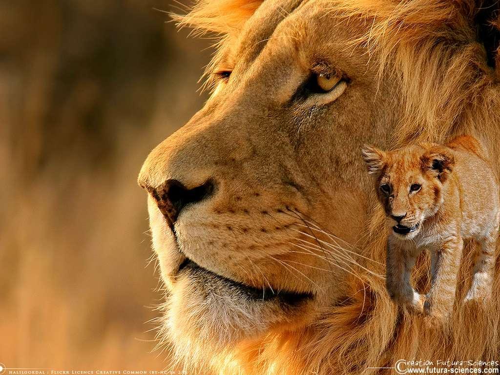 Fond D Ecran Lion