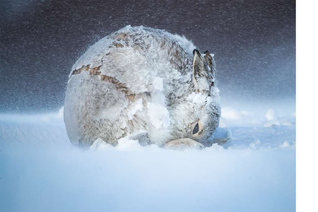 Hare ball. © Andy Parkinson, BigPicture Natural World Photography Competition