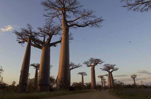 Adansonia grandidieri. Le plus imposant des baobabs, un véritable monument de 30 à 40 mètres, formant la célèbre allée des baobabs de Morondava à Madagascar. © S . Garnaud - Reproduction et utilisation interdites