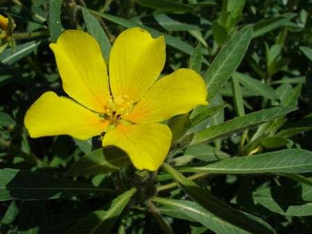 Jussiaea grandiflora, originaire d'Amérique du Sud, utilisée dans les aquariums d'eau douce. © Bouba, GNY, 1.2