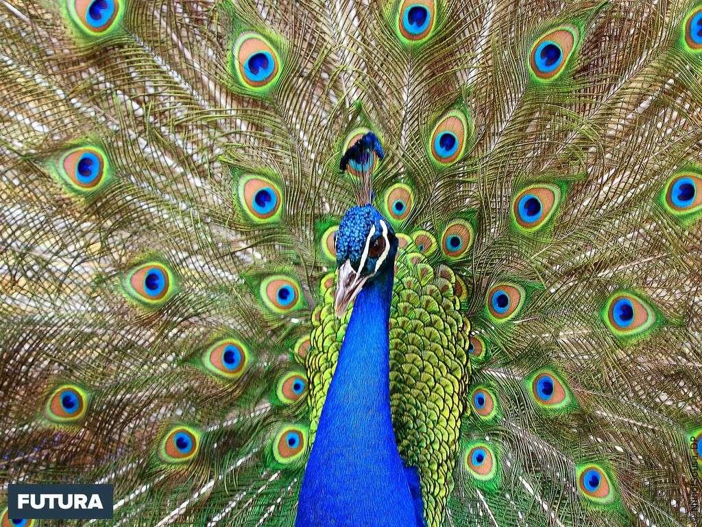 Le paon un oiseau majestueux aux plumes bleues