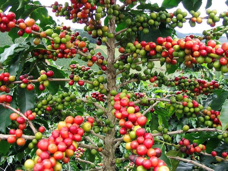Le caféier d'Arabie peut atteindre neuf mètres de haut. Cet arbre est originaire d'Éthiopie, mais il a également été planté en Amérique centrale et en Amérique du Sud. Près de 85 % du café arabica est maintenant produit dans ces régions. Mais la récolte de 2013-2014 ne devrait pas être bonne, à cause de la rouille du café. © Fernando Rebelo, Wikimedia Commons, cc by sa 3.0