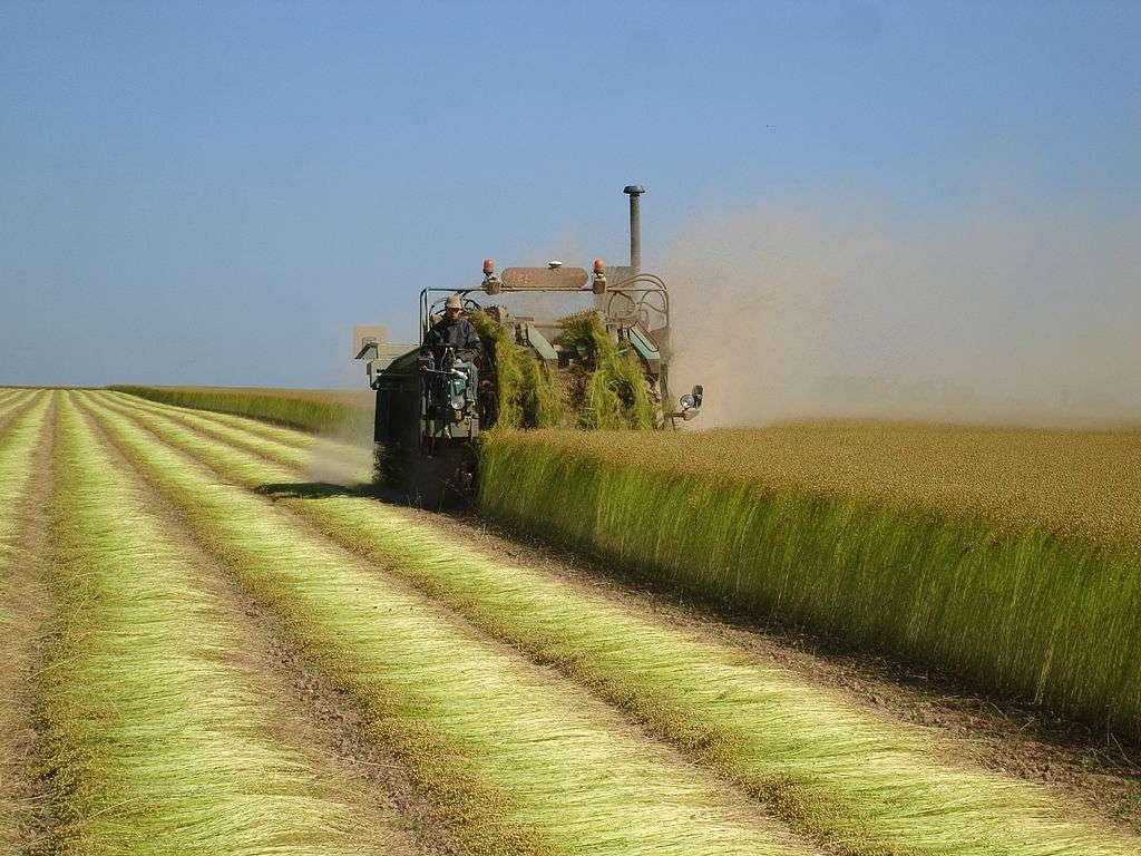 L'arrachage du lin est l'une des premières étapes de la récolte. © Bertfr, CC by-nc 3.0