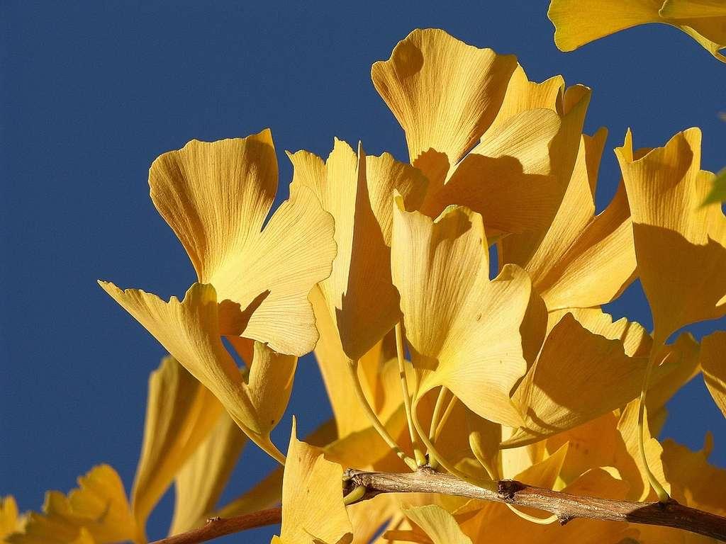 Ginkgo biloba. © Doblonaut, Flickr by nc-sa 3.0