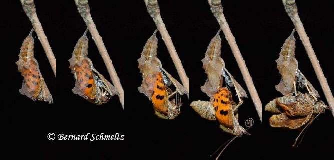 Émergence du papillon Robert-le-diable. Deux minutes se sont écoulées entre la photo de gauche et celle de droite. © Bernard Schmeltz