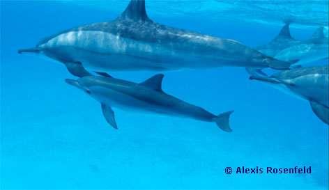 Dauphins à long bec - Migration. © Alexis Rosenfeld - Tous droits réservés