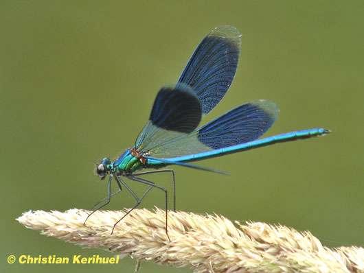 Photo de Calopteryx splendide (Calopteryx splendens)