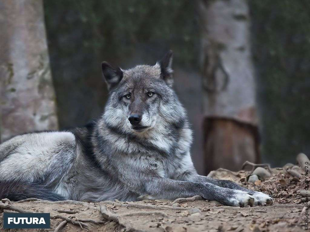 Loup gris en observation