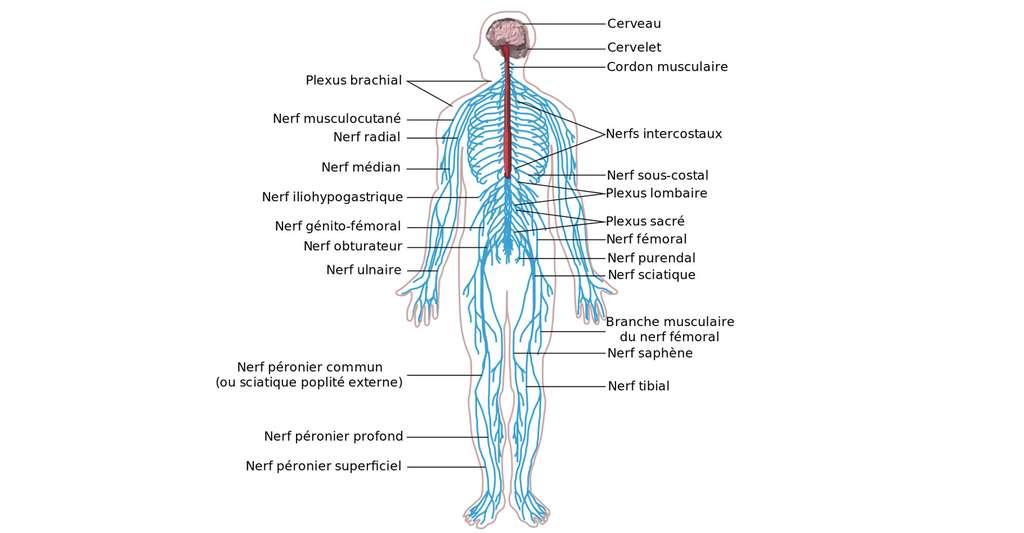 Schéma du système nerveux humain. © Medium69 - C BY-SA 4.0