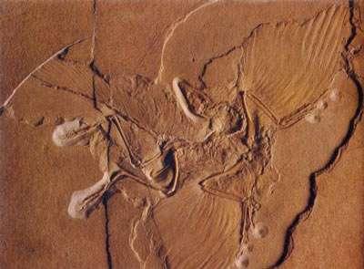 Spécimen d'Archaeopteryx, du Muséum d'histoire naturelle de Berlin, découvert en 1877. Premier fossile découvert présentant à la fois des caractères de Reptile et d'Oiseau, Archaeopteryx a été le premier « dinosaure à plumes ou oiseau à écailles », démontrant l'origine dinosaurienne des oiseaux. © DR