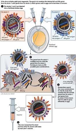 Création d'une souche vaccinale par réassortiment entre une souche saisonnière et une souche mère. © National Institute of Allergy and Infectious Diseases (NIAID)