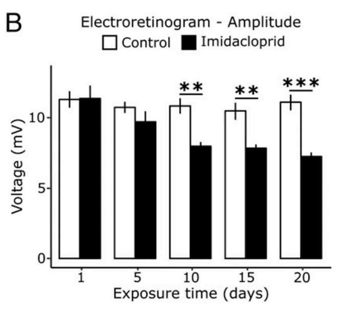 Les résultats d'un électrorétinogramme réalisé sur des drosophiles adultes en présence d'imidaclopride. À partir de 10 jours, l'amplitude du signal diminue en présence de l'insecticide. © Felipe Martelli et al., PNAS