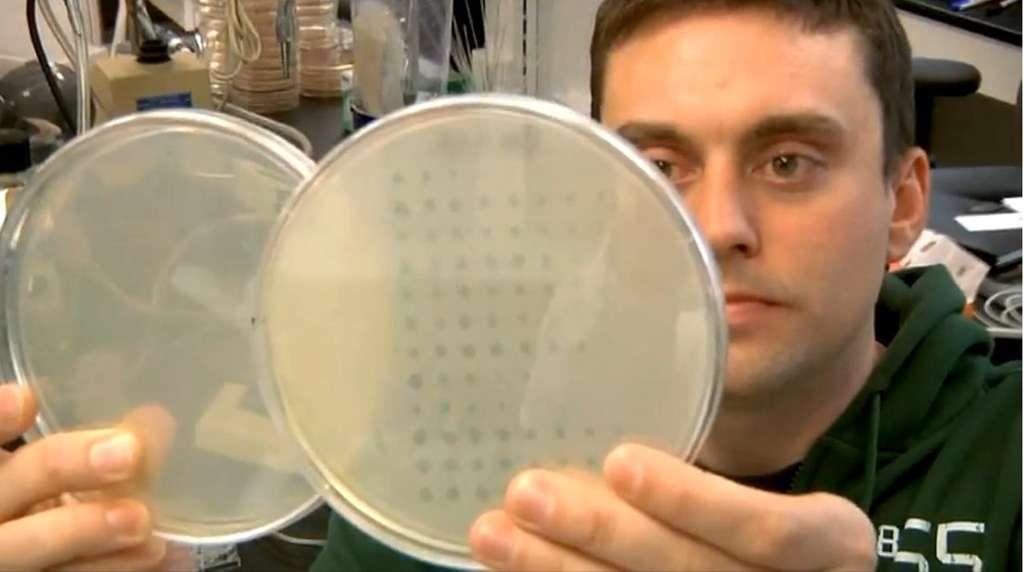 Justin Meyer, premier auteur de l'étude, observe la survie des bactéries Escherichia coli dans ses boîtes de Petri. On aperçoit que certaines cases sont vides, preuve que le bactériophage lambda est venu à bout de ses hôtes. Dans d'autres en revanche, les bactéries se portent bien. © MichiganStateU, Youtube