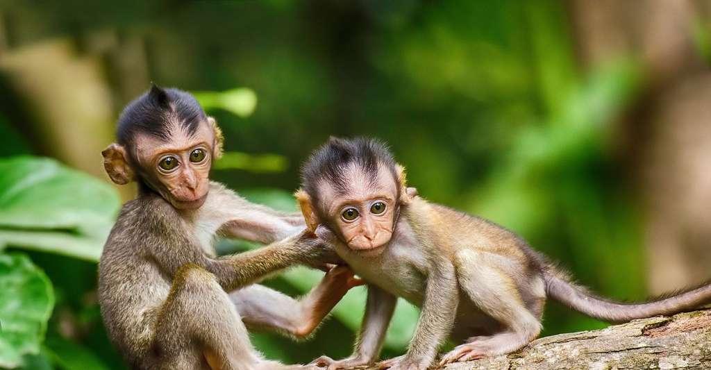 Avant l'hominisation, il y a d'abord eu l'apparition des mammifères, puis celle des primates, puis celle des hominidés… Ici, deux petits singes. © TheDigitalArtist, Pixabay, DP