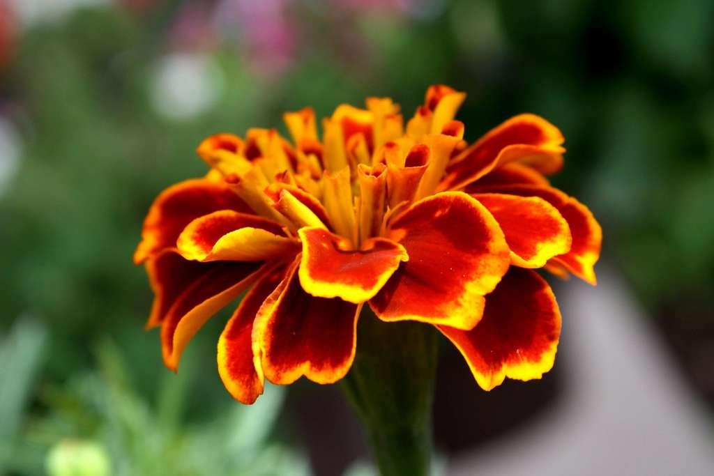 L'œillet d'Inde (Tagetes patula et Tagetes minuta) est la plante nématicide la plus connue. © Pixnio
