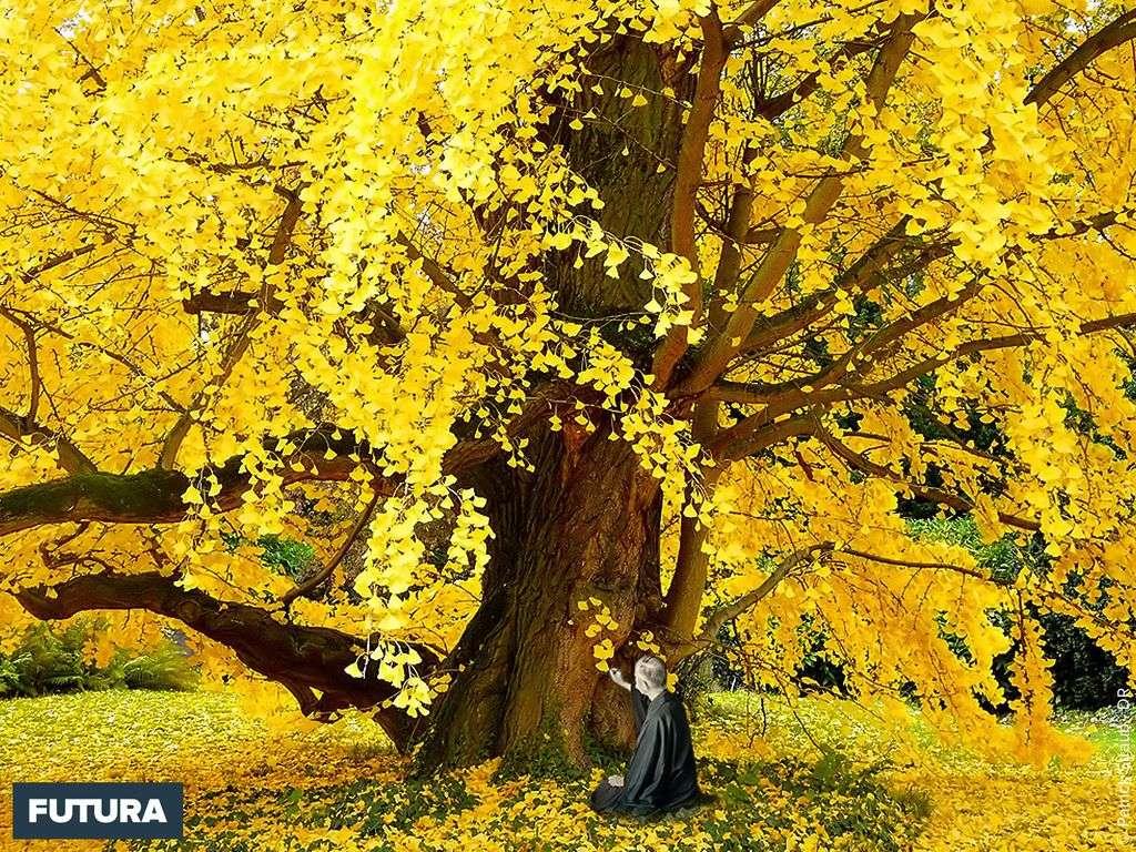 Gingko biloba aux feuilles d'or