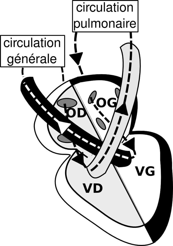 Figure 1. Le sang veineux gagne le cœur par l'oreillette droite (OD) via les veines caves supérieures et inférieures. Il se dirige vers le ventricule droit (VD) qui l'éjecte dans la circulation pulmonaire. Arrivé aux poumons, le sang est réoxygéné et repart vers l'oreillette gauche (OG) du cœur par les veines pulmonaires. Il gagne le ventricule gauche (VG) et est éjecté dans l'aorte et donc dans la circulation générale. © Hugues Jacobs