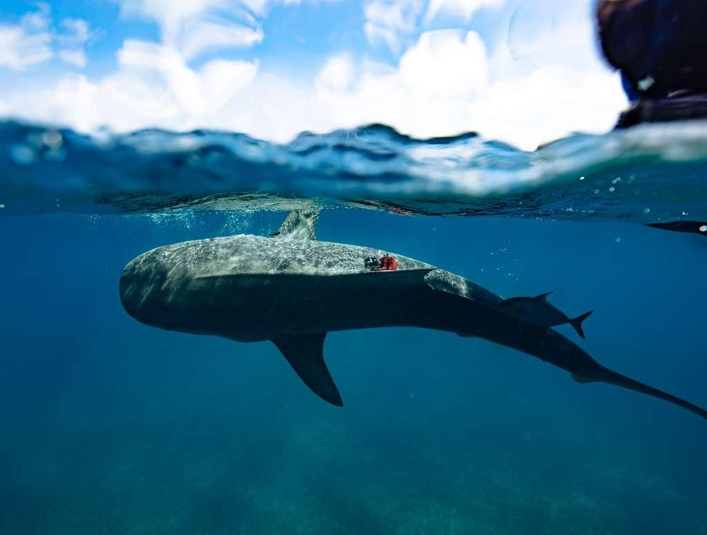 Une balise a été fixée sur la nageoire pectorale de ce requin-tigre pour enregistrer sa vitesse de nage et les paramètres environnementaux qui l'entourent. © Diego Camejo (Beneath the Waves)