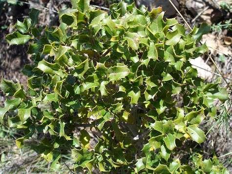 Feuilles de Quercus coccifera (chêne kermès). © Jean Tosti, Licence de documentation libre GNU, version 1.2