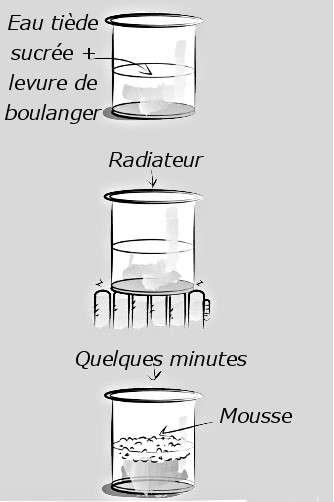 En plaçant un mélange d'eau tiède sucrée et de levure de boulanger dans un endroit chaud, une mousse se forme à la surface de l'eau. © Dunod