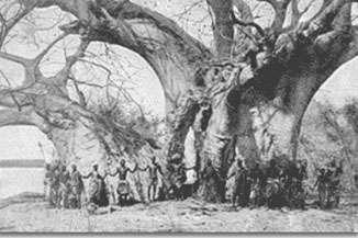 Baobab de Sagole en Afrique du Sud. Carte postale de 1944. Reproduction et utilisation interdites