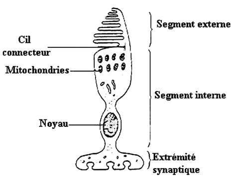Schéma d'un cône. © Reproduction et utilisation interdites