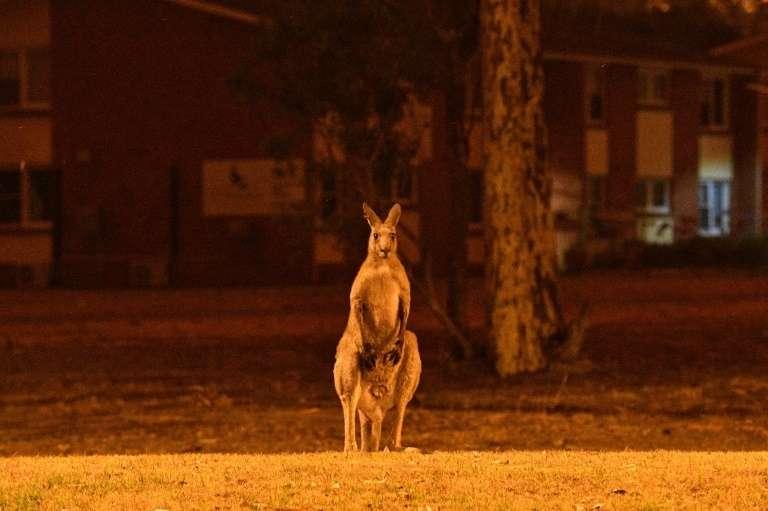 Un kangourou aperçu dans la ville de Nowra, en Nouvelle-Galles du Sud, à proximité d'une zone d'incendie. © Saeed Khan, AFP Archives