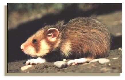 Grand Hamster (Cricetus cricetus)© Photo G. Baumgart