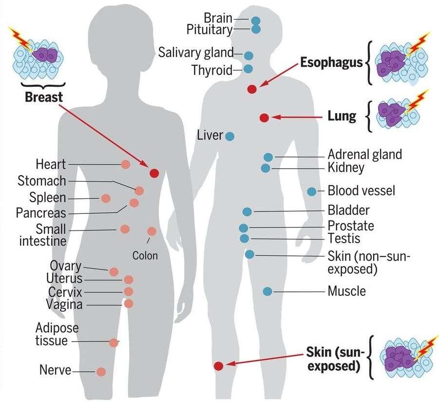 Les organes où l'on observe le plus de mutations sont la peau, le poumon, l'œsophage, et le sein chez la femme. © Yizhak et al., Science, 2019