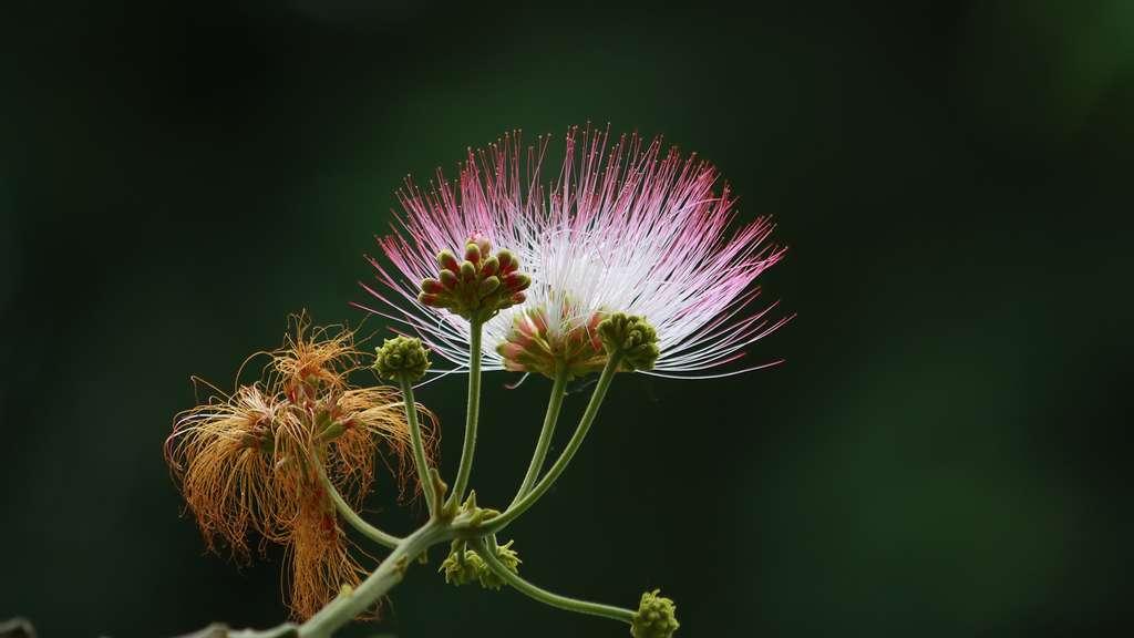 Fleur de l'arbre à pluie (Albizia saman)