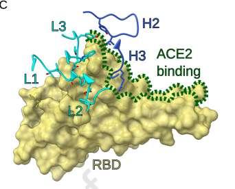 Le site de fixation de SARS2-38 sur le RBD. Les lignes bleu céladon indiquent la chaîne légère de l'anticorps et les lignes bleu foncé, la chaîne lourde. Les pointillés verts montrent le site d'interaction avec le récepteur ACE2. © Laura A. VanBlargan et al. Immunity