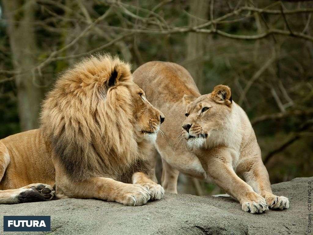 Lion et lionne l'heure des calins