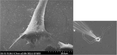 A gauche, des neurones en culture, observés au microscope électronique. A droite, le montage d'une électrode pour recueillir le signal nerveux émis par un neurone. Crédit : Todd Pappas / UMTB