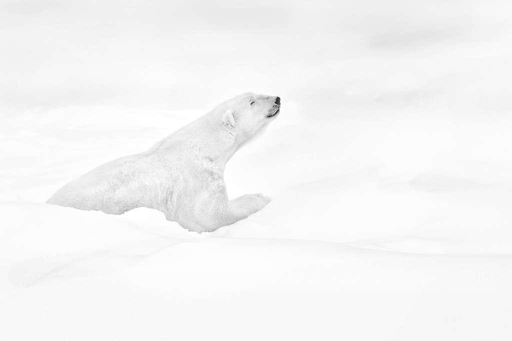 Retrouver l'esprit de Nanuq, l'ours blanc