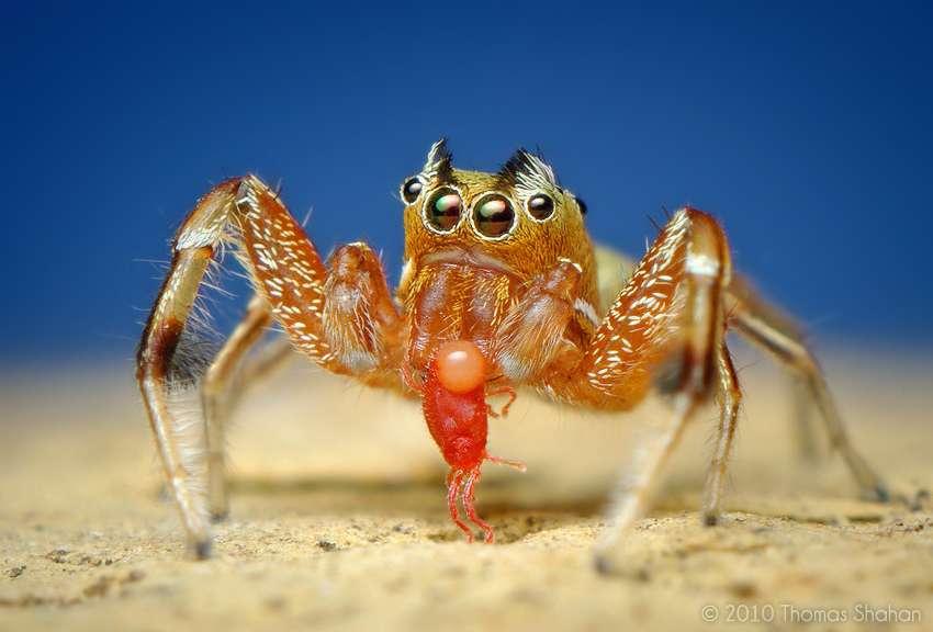 Araignée Tutelina elagans mangeant une mite rouge