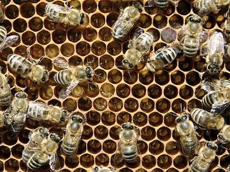 Durant les 20 premiers jours de sa vie, une abeille s'attelle uniquement à des tâches devant être réalisées à l'intérieur de la ruche : nettoyage des cellules, nourrissage des larves, soins à la reine, construction et entretien des rayons, amassage du pollen, ventilation, etc. © Waugsberg, Wikimedia common, CC by-sa 3.0